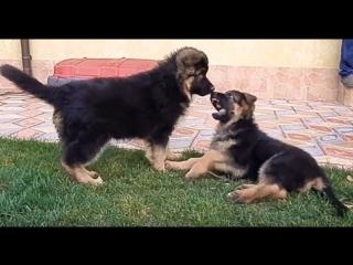 СОБАЧИЙ БОЙ!!! Щенки Немецкой Овчарки дерутся. Dog fighting !! EXCLUSIVE!