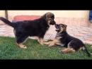 СОБАЧИЙ БОЙ Щенки Немецкой Овчарки дерутся. Dog fighting !! EXCLUSIVE!