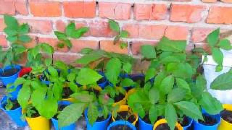зберігання, посадка, вирощування, окуліровка горіхів №4 висновок