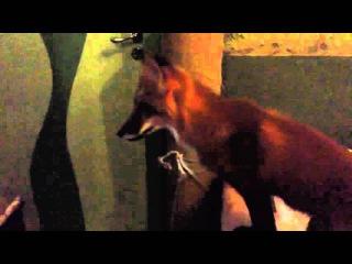 Лисенок Рэй и доктор Хаус / Ray the Fox and House M. D.