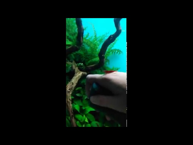 Ручная креветка, Вишневая креветка, Red Cherry Shrimps