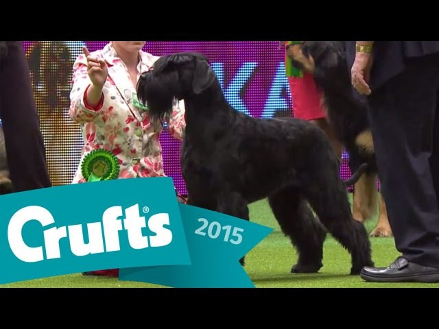 Alaskan Malamute wins Working Group Judging Crufts 2015