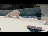 В зоопарк в Сан-Диего завезли 26 тонн снега, чтобы зрители увидели медведей в ес