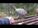 Curious Hazel grouse Nyfiken järpe
