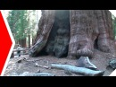 Какие самые старые деревья на планете Деревья долгожители Топ 5 Самые старые деревья в мире Удивительные Факты