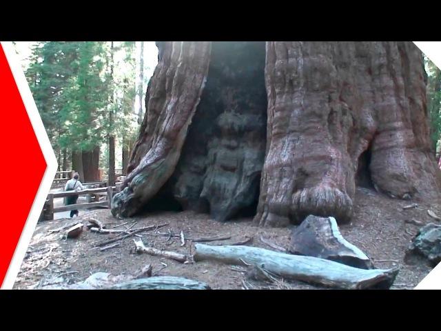 Какие самые старые деревья на планете Деревья долгожители - Топ 5 - Самые старые деревья в мире
