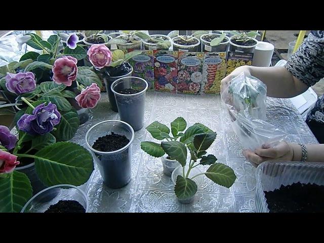 🌱ГЛОКСИНИИ. Пересадка макушек Прижились замечательно 🌱How to grow gloxinia part №9