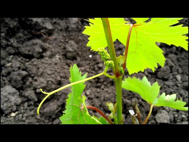 Уход за однолетним кустом винограда удаление соцветий подкормка мульчирование