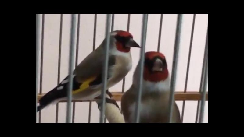 Щегол черноголовый щегол седоголовый