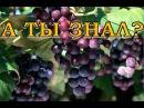 Как правильно формировать виноград