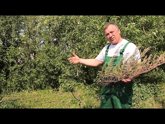 Ржавчина на листьях плодовых деревьев.Методы борьбы