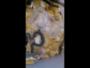 Обед малышей уссурийского щитомордника
