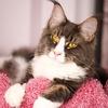 Питомник кошек породы мейн кун VSEVMURS. Котята