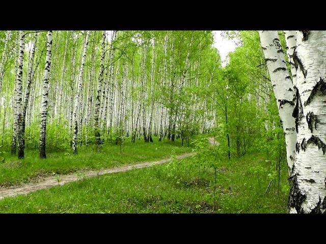 Натурный футаж - Берёзовая роща. Весна, май...(HD)