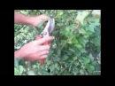 СМОРОДИНА Летняя обрезка смородины