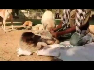 Ямуна - обычная бродячая собака, она попала под машину