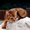 Питомник абиссинских кошек Zephyr