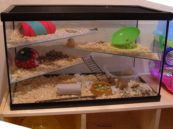 Содержание хомяка в домашних условиях в аквариуме