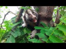 Rescued slow loris learns to climb a tree