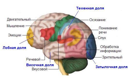 Функции на мозъка