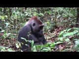 Silverback gorilla eating termites, Mondika, Congo. Ian Redmond