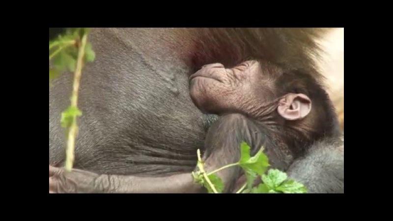 Zázrak v Pavilonu goril