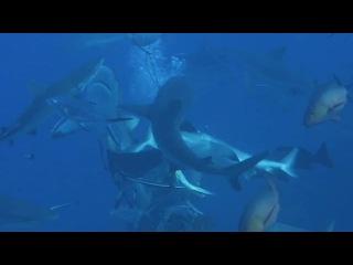 Shark Feed at North Horn, Osprey Reef