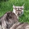 Котята Мейн-Кун-питомник《Краса Кубани》