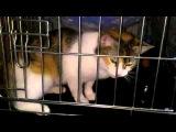 Кошка Лорен, 1,5 года