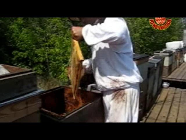 Кривчиков Отбор и откачка мёда