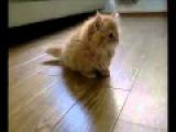 [Котенок]Симпатичные Манчкин [кошка]