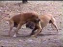 Собачьи бои (часть 1)
