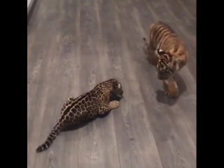 Детеныш ягуара встречает тигренка