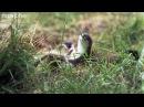 BBC One - Горностай убивает кролика, который в десять раз больше него
