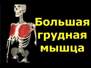 Большая грудная мышца. Грудь. Анатомия. Упражнения. Растягивание ,jkmifz uhelyfz vsiwf. uhelm. fyfnjvbz. eghf;ytybz. hfcnzubdfyb