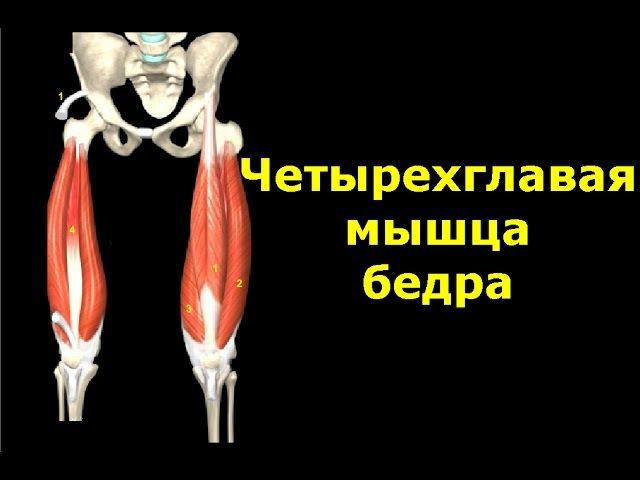 Четырехглавая мышца бедра Квадрицепс Анатомия Упражнения Растягивание xtnsht ukfdfz vsiwf tlhf rdflhbwtgc fyfnjvbz eghf