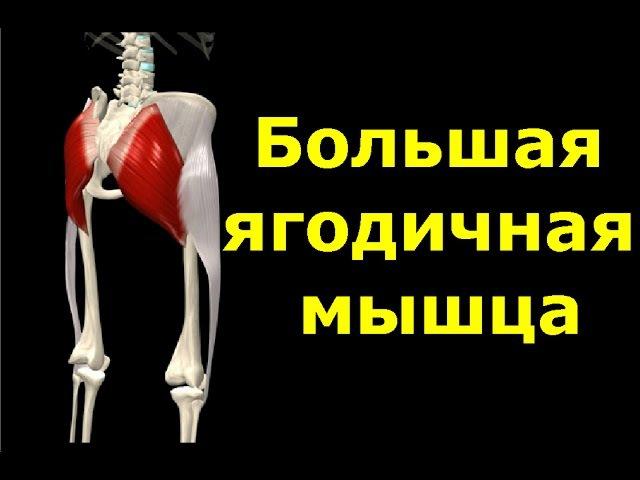 Большая ягодичная мышца. Анатомия. Упражнения. Растягивание. ,jkmifz zujlbxyfz vsiwf. fyfnjvbz. eghf;ytybz. hfcnzubdfybt.
