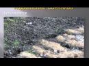 Сидераты. Выращивание перцев и баклажан