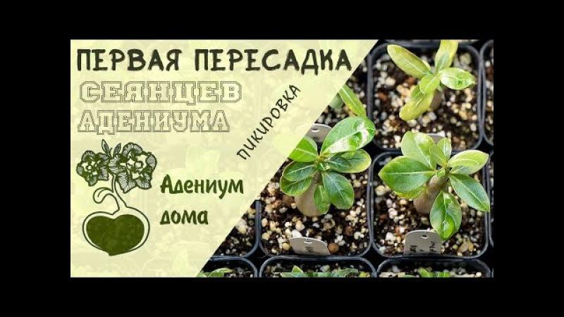 Адениум дома: первая пересадка (пикировка) сеянцев адениума. Обрезка и формирование корней.