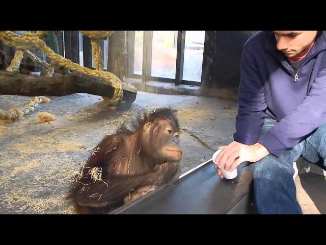Орангутангу показали фокус