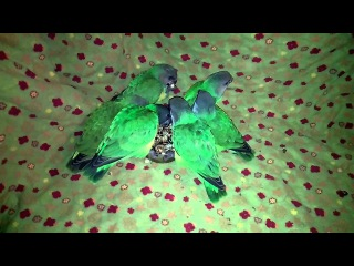 Сенегальский попугай Poicephalus senegalus - птенцы выкормыши 2 месяца