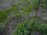 Сад.Огород.Пирамида для гороха.Клематиса
