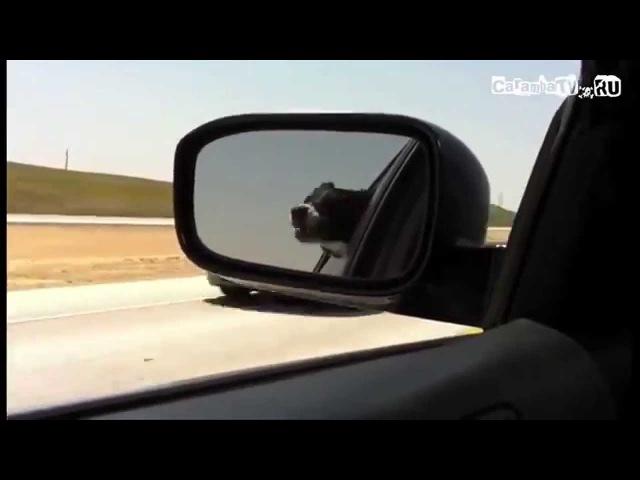 Собака ругается матом на мимо проезжающие машины ;D