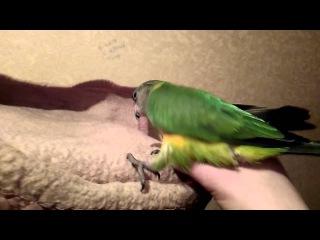 Сенегальский попугай (Poicephalus senegalus ) птенец выкормыш 2 месяца