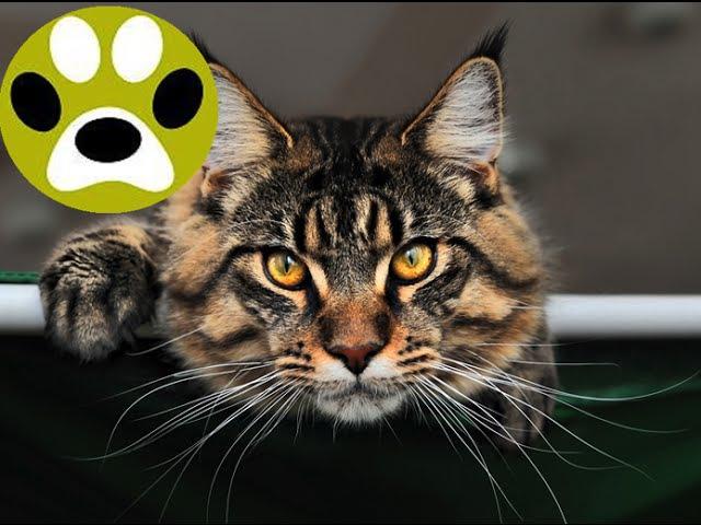 Мэйн кун - кот великан, советы по уходу. Дай Лапу