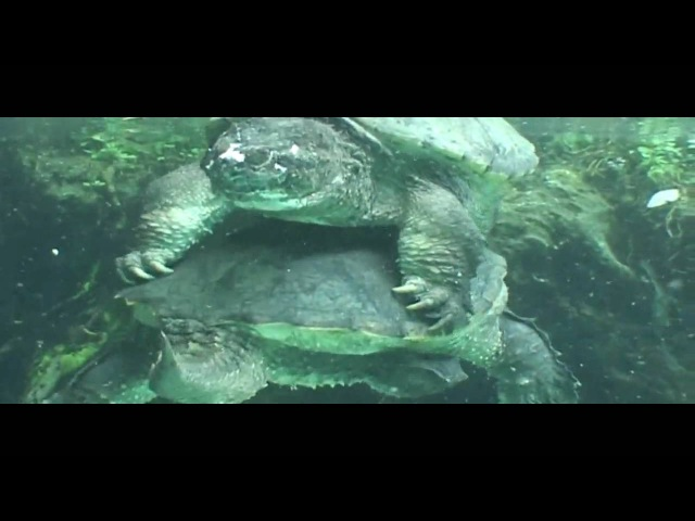 2 male Florida Snapping Turtles Fighting @ Three Sisters Springs - Crystal River, Fl.