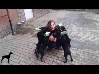Doberman Puppies playing in the yard / Щенки добермана играют во дворе