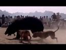 Гулл терр VS медведь 2 (собачьи бои) 18 +