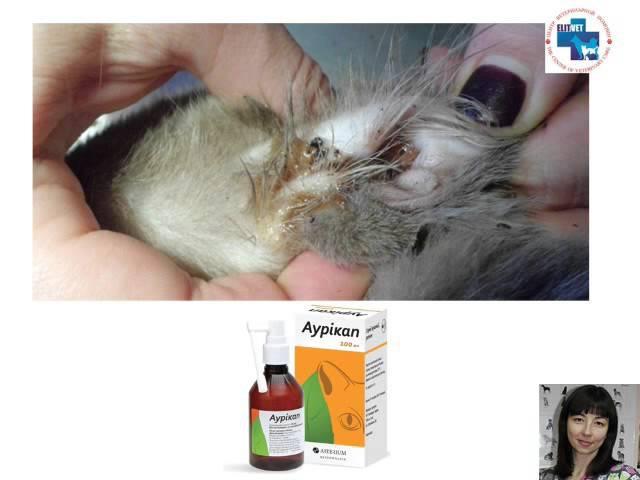 Как и чем правильно чистить уши собаке/коту. Советы ветеринарного дерматолога к ...