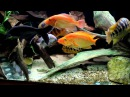 American cichlids and others tank discussion about collection